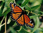 Butterfly Native American Animal Medicine on DrStandley.com