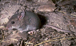 Mouse Native American Animal Medicine on DrStandley.com