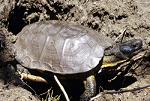 Turtle Native American Animal Medicine on DrStandley.com