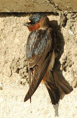 Native American Cliff Swallow Animal Medicine